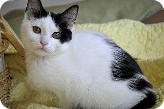 Domestic Shorthair Kitten for adoption in New Smyrna Beach, Florida - Tria (Super affectionate!)