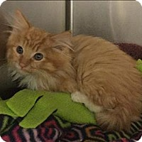 Domestic Longhair Kitten for adoption in Mipiltas, California - Sonny