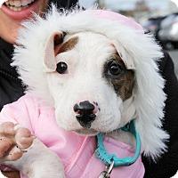 Adopt A Pet :: Watson - Harrison, NY