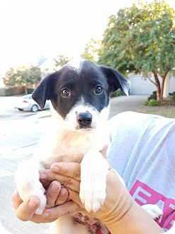 Border Collie Mix Puppy for adoption in Plano, Texas - Chelsea