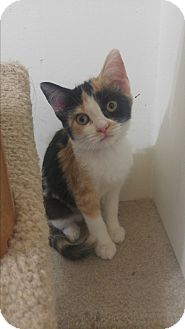 Calico Kitten for adoption in Loveland, Colorado - Miss Bugsy McGee