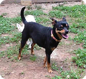 Miniature Pinscher Mix Dog for adoption in Acworth, Georgia - Lucy