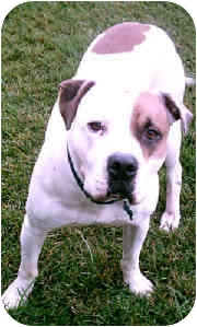 American Pit Bull Terrier Dog for adoption in Gainesboro, Tennessee - Jake