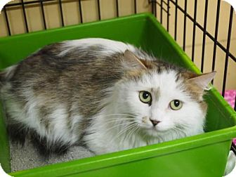 Domestic Longhair Cat for adoption in Ocean City, New Jersey - Mariah