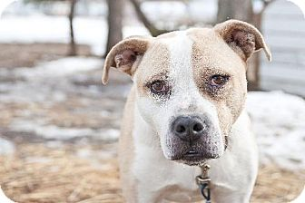 American Pit Bull Terrier Mix Dog for adoption in Gregory, South Dakota - Crockett