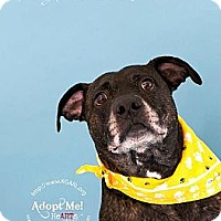 Adopt A Pet :: KGAC Shelter #11-21-11-1 Kong - Fredericksburg, VA