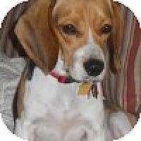 Adopt A Pet :: Sunny - Novi, MI