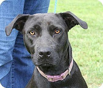 Labrador Retriever Mix Dog for adoption in West Columbia, South Carolina - Ryleigh