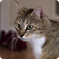 Adopt A Pet :: Tiger Pippen - Lombard, IL