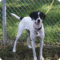 Pointer Dog for adoption in Atchison, Kansas - Lady