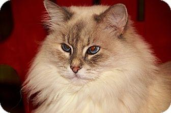 munchkin cat for sale michigan