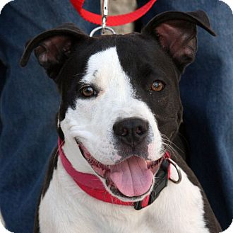 Pit Bull Terrier Mix Puppy for adoption in Palmdale, California - Oreo