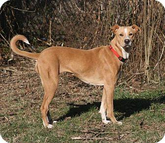 Border Collie/Labrador Retriever Mix Dog for adoption in Nicholasville, Kentucky - Katie