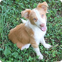 Adopt A Pet :: Brody (Dols) - Spring Valley, NY