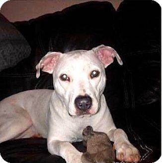 Labrador Retriever/Boxer Mix Dog for adoption in Schaumburg, Illinois - LYRIC