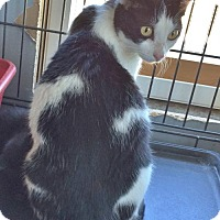 Domestic Shorthair Cat for adoption in San Marcos, Texas - Candy