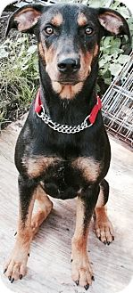 Doberman Pinscher/Terrier (Unknown Type, Medium) Mix Dog for adoption in Columbia Heights, Minnesota - Romeo