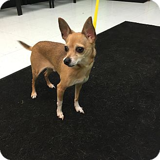 Chihuahua Mix Dog for adoption in Nashville, Tennessee - ChiChi