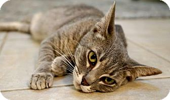 Domestic Shorthair Cat for adoption in New Orleans, Louisiana - Charbonnet