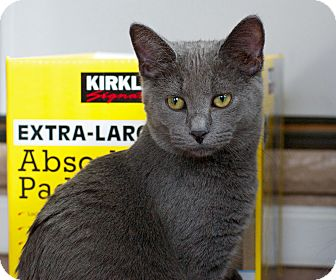 Russian Blue Kitten for adoption in Troy, Michigan - Wally