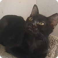 Bombay Cat for adoption in Houston, Texas - Molly