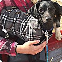 Adopt A Pet :: Shaggy - Boulder, CO