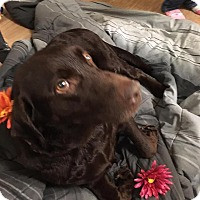 Labrador Retriever Dog for adoption in Streamwood, Illinois - Daisy