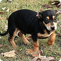 Black and Tan Coonhound Mix Puppy for adoption in Foster, Rhode Island - Oliver