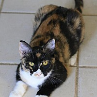 Calico Cat for adoption in Hammond, Louisiana - Flower
