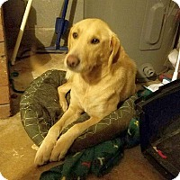 Adopt A Pet :: Goldie - Knoxville, TN