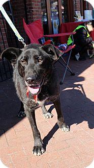 German Shepherd Dog/Labrador Retriever Mix Dog for adoption in Washington, D.C. - Luke