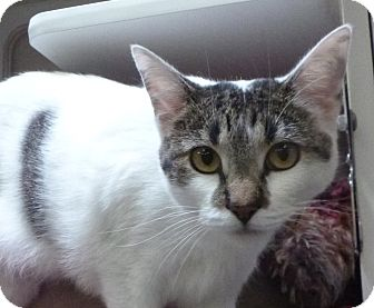 Domestic Shorthair Cat for adoption in St. Petersburg, Florida - Little Dipper