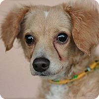 Adopt A Pet :: Banjo - Canoga Park, CA