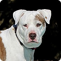 Adopt A Pet :: BETTY BOOP - Phoenix, AZ