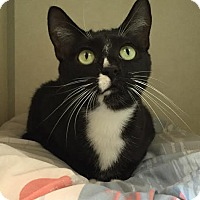 Domestic Shorthair Cat for adoption in Westminster, California - Brooklyn