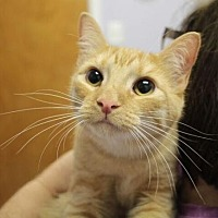 Domestic Shorthair Kitten for adoption in Raleigh, North Carolina - Captain S