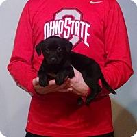 Adopt A Pet :: Marshall - Lakewood, OH