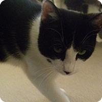 Adopt A Pet :: Nikolas - Hamburg, NY