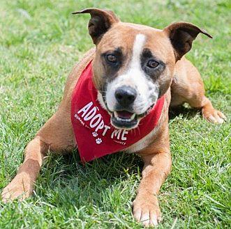 Boxer Mix Dog for adoption in Salisbury, North Carolina - Doby