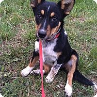 Adopt A Pet :: Penny - Manassas, VA