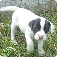 Adopt A Pet :: Zapo - West Chicago, IL