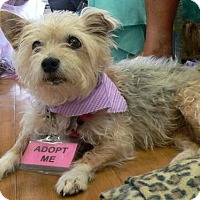 Cairn Terrier/Yorkie, Yorkshire Terrier Mix Dog for adoption in Fort Lauderdale, Florida - CHARLOTTE
