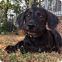 Terrier (Unknown Type, Medium) Puppy for adoption in Chantilly, Virginia - Snickers the Terrier