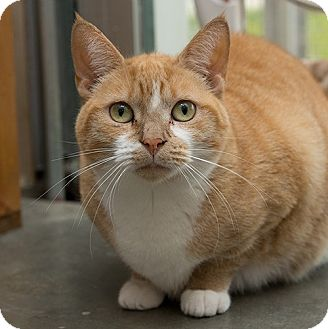 Domestic Shorthair Cat for adoption in Wilmington, Delaware - Ariel