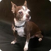 Adopt A Pet :: Coco - Clayton, CA