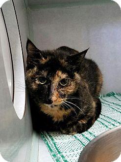Domestic Shorthair Cat for adoption in Manteo, North Carolina - Emerald