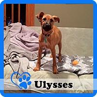 Adopt A Pet :: Ulysses - Medford, NJ