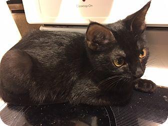 Domestic Shorthair Kitten for adoption in Delmont, Pennsylvania - Lucinda