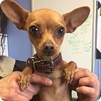 Adopt A Pet :: Ginger - Show Low, AZ