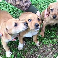 Adopt A Pet :: Roadside Park puppies - Cat Spring, TX